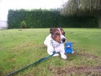 dressage et �ducation de BIBOU [Jack Russel] 18 mois de Sainte Colombe en Bruilhois (Lot)